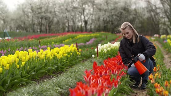 Cover Image for Tulips Plantation Flowers Production Gardener Spraying Water on the Tulips at Farm
