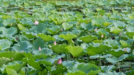 Thumbnail for Lotus flower pond