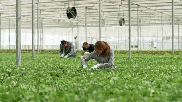 Thumbnail for Mature Female Engineer in Agronomy Inspecting Growing Organic Green Salad