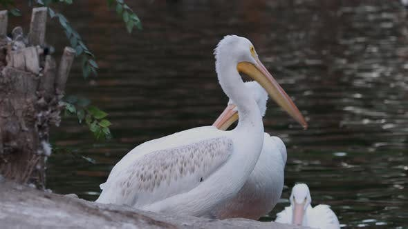 Thumbnail for Pelicans sitting at edge of a pond
