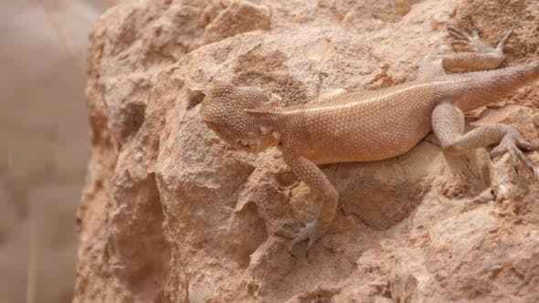Thumbnail for Desert Agama hunting on a rock