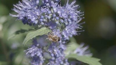 Honey Bee on Blue Flower Slow Motion