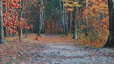 Beautiful Golden Fall in Autumn Forest