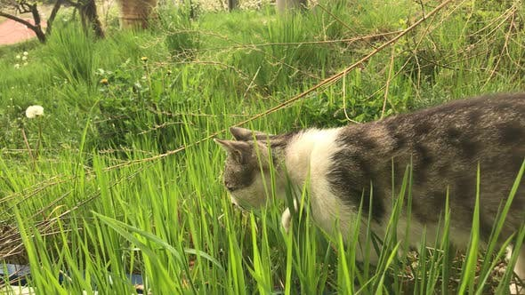 Thumbnail for Domestic young cat  in the grass slow motion 1920X1080 HD video - Outdoor scene with gray and white