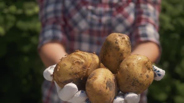Thumbnail for Farmer Holding in Hands the Harvest of Potatoes in the Garden. Organic Vegetables. Farming