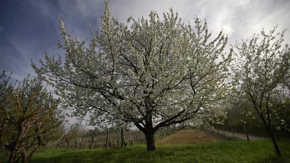 Big Tree in Spring
