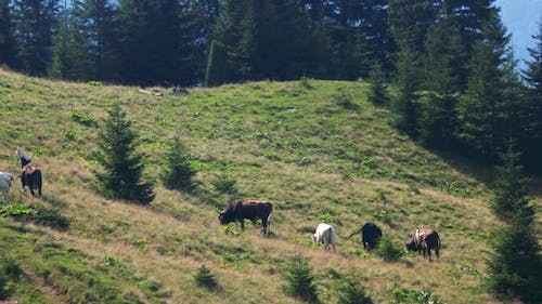 Cows Grazing on Pasture in Mountains