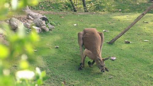 Funny Big Brown Kangaroo Scratches Belly in Tropical Zoo