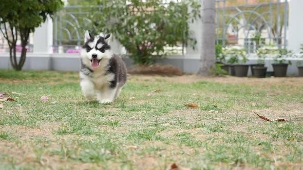 Cute Puppy Dog Siberian Husky Two Months Running