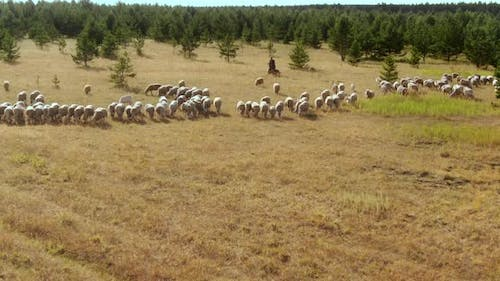 View From a Copter a Shepherd Walks Around a Flock of Sheep with a Dog