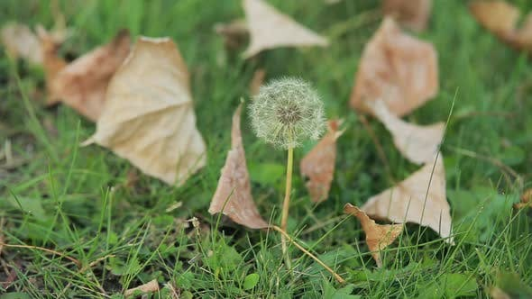 Thumbnail for Dandelion and Dried Leaves