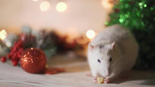 Cover Image for Symbol of 2020, the Rat Sits on the Background of a Christmas Tree Decorated