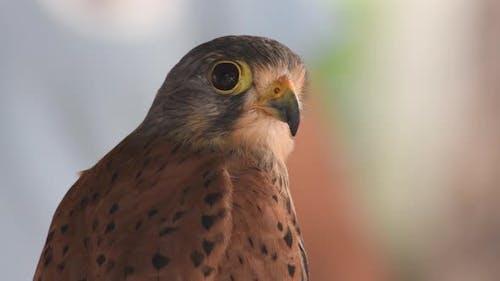 Falcon auf einer Vogelshow