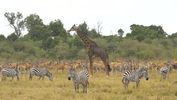Giraffe, zebras and common elands