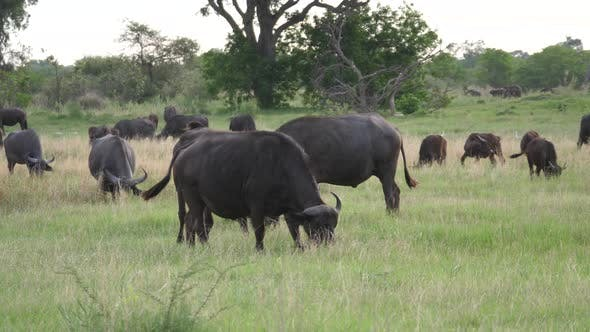 Thumbnail for Herd of african buffalo grazing at Moremi Game Reserve