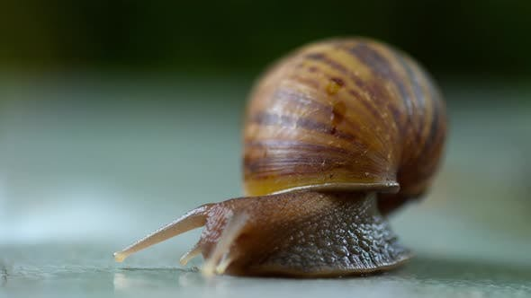 Thumbnail for Garden Snail Crawling, Macro