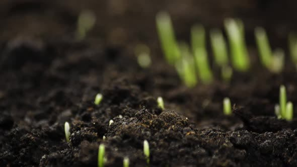 Thumbnail for Growing Plants in Timelapse, Sprouts Germination Newborn Plant, Rye Field, Cereal Crop, Time Lapse