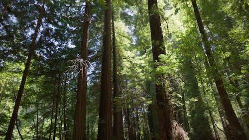 Redwood Forest 4K