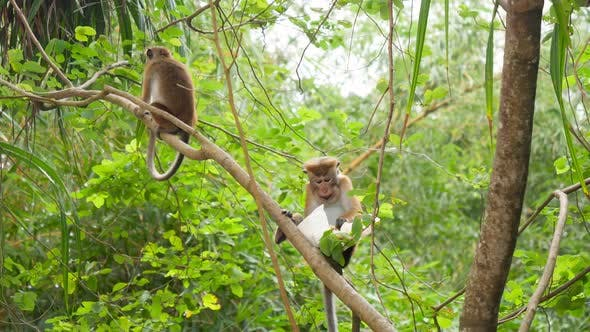 Thumbnail for Footage of Wild Monkey Eating Food From Plastic Bag She Stole From Tourist in Tropical Jungle
