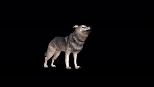 4K Wolf Howling