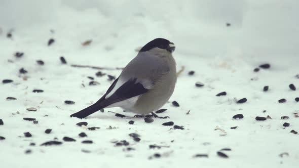 Thumbnail for Bullfinch Eating Seeds