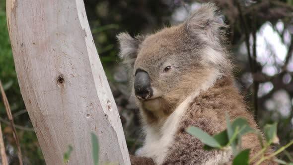 Thumbnail for Koala Adult Alone Resting in Australia