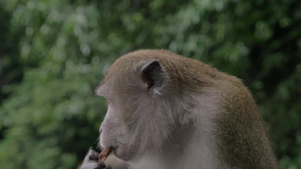 Cover Image for Close Up View of Macaque at Batu Caves on Blurred Green Background. Gombak, Selangor, Malaysia
