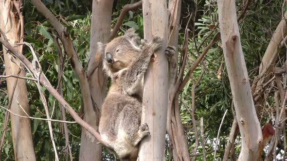 Thumbnail for Koala Adult Lone Resting Looking Around in Australia