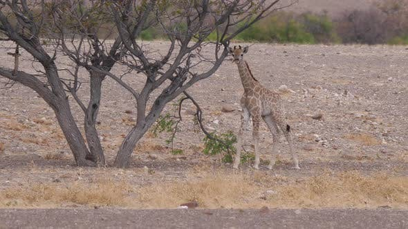 Thumbnail for Baby giraffe searching for fresh leafs on the savanna