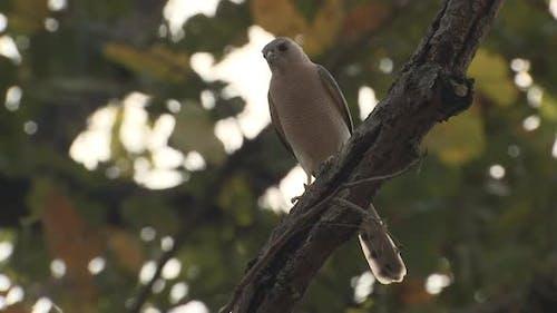 Shikra Alone in Spring in India