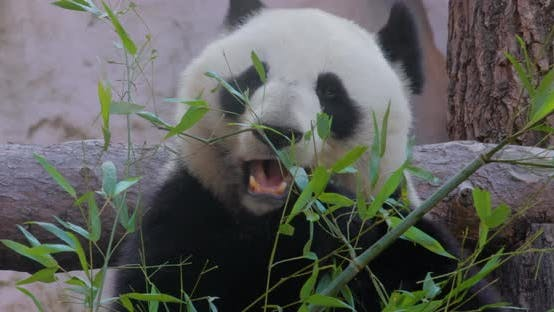 Giant Panda Ailuropoda Melanoleuca Also Known As the Panda Bear