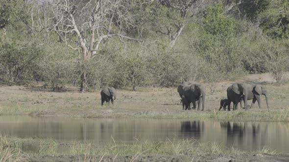 Thumbnail for Elefantenherde neben Wasser