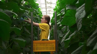 Greenhouse Worker Pick and Cut Cucumbers