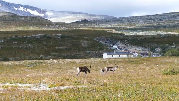 Thumbnail for Reindeer in Saltfjellet–Svartisen National Park