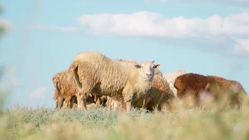 Herd sheep standing and graze in field. Agriculture and cattle breeding. Slow motion