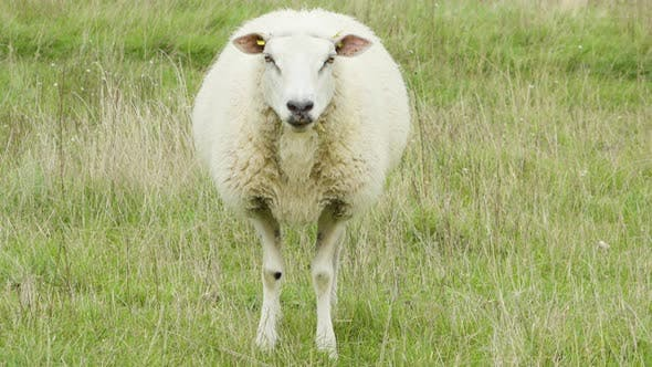 Thumbnail for A Single Sheep Walks and Eats in a Green Field, Stands Still and Looks Straight Into the Camera