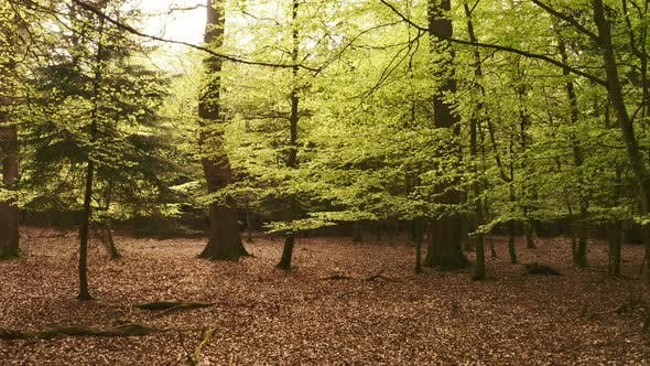 Thumbnail for Middle of Forest Towards Large Tree with Dry Leaves