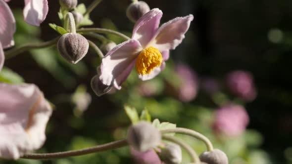 Thumbnail for Pink Japanese Anemone Hybrida Pink Kuss Blume im Garten Slow-mo Video