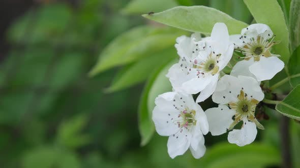 Thumbnail for Blossom Apple Over Nature Background in Springtime