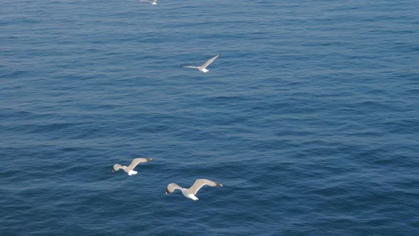 Thumbnail for Three Seagulls Soaring in Blue Sky. Gulls Flying High in Cloudless Sky. Birds of Prey Fly in Clear