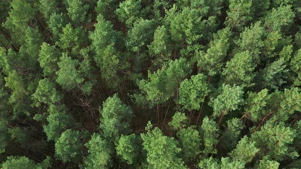 Thumbnail for Aerial Pine Forest Top View