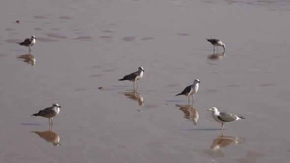 Thumbnail for Seagulls on the Beach Reflecting in the Water