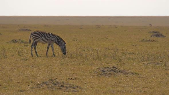 Thumbnail for Plains zebra scratching