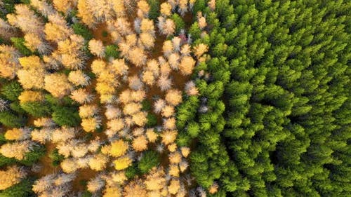 Aerial view of autumn colored larch forest.