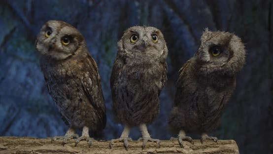 Thumbnail for Three Owls with Big Eyes Are Moving Their Heads, Curious Birds,
