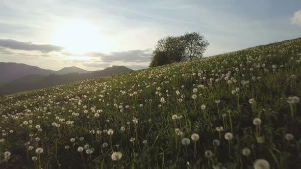 Thumbnail for Sunset over Dandelion Flower Meadow