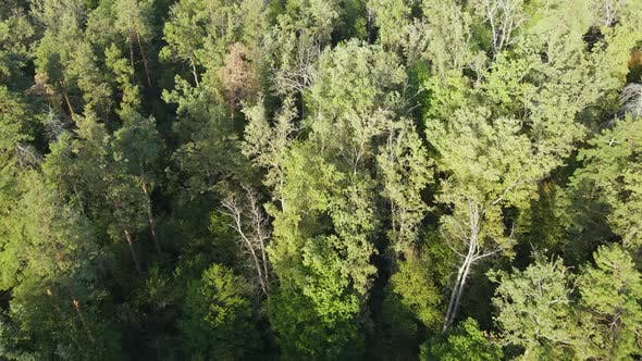 Trees in the Forest Aerial View, Slow Motion