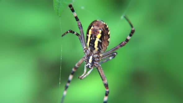 Thumbnail for Striped Spider