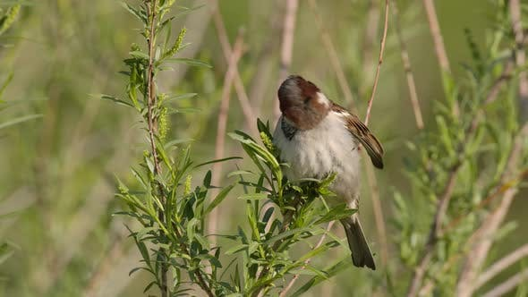 Thumbnail for House Sparrow Male Adult Lone Perched Flying in Spring in South Dakota