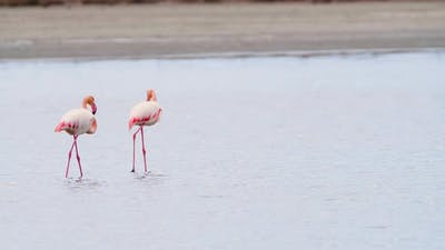 Flamingo Feeding in Shallow Water Phoenicopterus Ruber Feeds in Shallow Water Wild Greater Flamingo